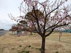 桜13-03-25日立お魚センター