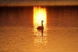 白鳥古徳沼10-04-01