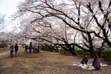 明野薪能桜満開(2)大鳥の桜