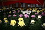 笠間稲荷の菊祭り061021