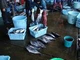 久慈漁港061208メジマグロ