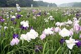 青山花菖蒲園09-06-14
