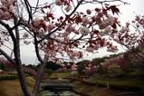 八重桜瓜連09-4-21