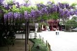 笠間藤の花八重の藤