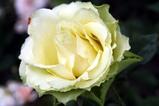 花バラ09-06-04鯨岡