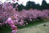 八重桜まつり08-04-24