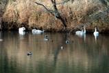 白鳥古徳沼08-03-22