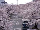 桜平和通り