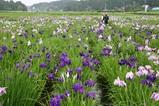 青山花しょうぶ園10-06-20五分咲き見頃