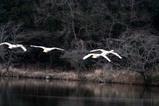 白鳥古徳沼10-03-31
