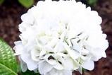 あじさいの森・そば道場(3)品種1(1)ピュアホワイト