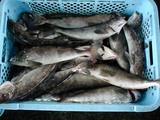 久慈漁港061214ホッケ