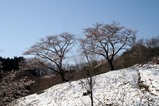 沓掛峠山桜