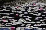 花睡蓮根岸のため池