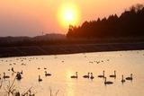 白鳥古徳沼13-03-09