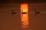 白鳥古徳沼08-03-16
