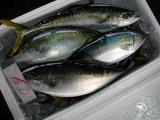 久慈漁港061214イナダ