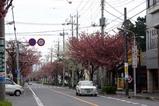 八重桜多賀大学通り