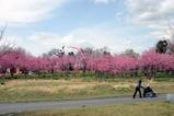 古河桃まつり桃の花菜の花(1)