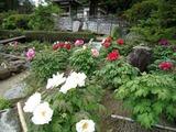 法専寺の牡丹11-05-13