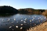 白鳥08-12-19古徳沼