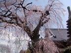 桜13-03-23 常陸大宮西方寺