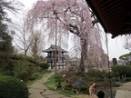 桜13-03-28(2)額田の枝垂れ桜