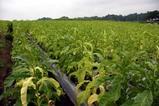 たばこ栽培笠間