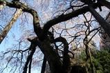 桜と雪10-4-17 (5)小生瀬のシダレザクラ