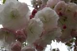 八重桜多賀大学通り08-04-25(15)松月ショウゲツ