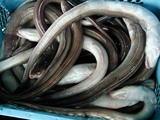 久慈漁港061208アナゴ