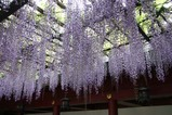 笠間稲荷神社の藤