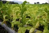 たばこ栽培真壁07