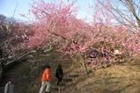 筑波山梅祭り