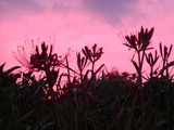 (3)彼岸花と夕陽