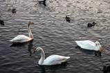 白鳥08-01-27古徳沼