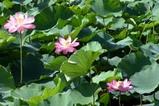 蓮親沢の「池