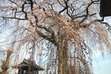 桜額田阿弥陀寺