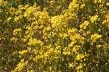 里川菜の花