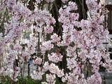 桜11-04-11常陸大宮西方寺