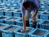 久慈漁港シラス漁08-09-10