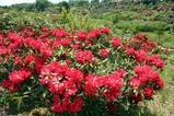 鳳台院09-05-10石楠花