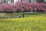 古河桃まつり桃の花菜の花(2)