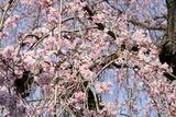 西方寺の桜