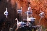 白鳥古徳沼10-03-30