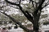 八重桜多賀大学通り上匂