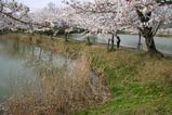 さ桜つくば大池の桜