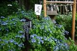 あじさい水戸八幡神社1