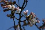 東海村桜祭り