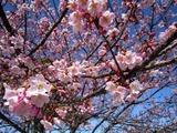 東日本大震災11-03-31久慈浜河津桜